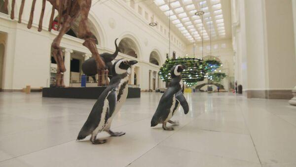 Забавное видео: пингвины побродили по музею и изучили экспонаты - Sputnik Беларусь
