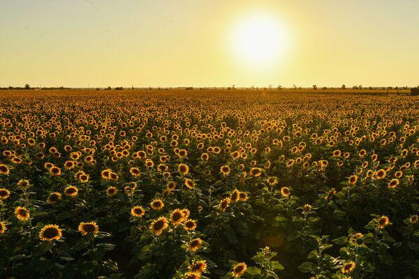 Франсиско Писарро обнаружил его в Тавантинсуйу (Перу) и доставил семена в Европу — вместе с золотыми статуями цветка.  - Sputnik Беларусь