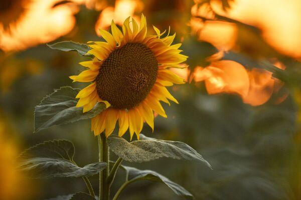 Во многих индейских культурах подсолнечник использовался в качестве символа божества Солнца, особенно у ацтеков и отоми в Мексике и у инков в Перу. - Sputnik Беларусь