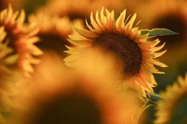 А еще подсолнухи дарят творческим людям – именно в этих цветах можно прочесть небанальную красоту.  - Sputnik Беларусь