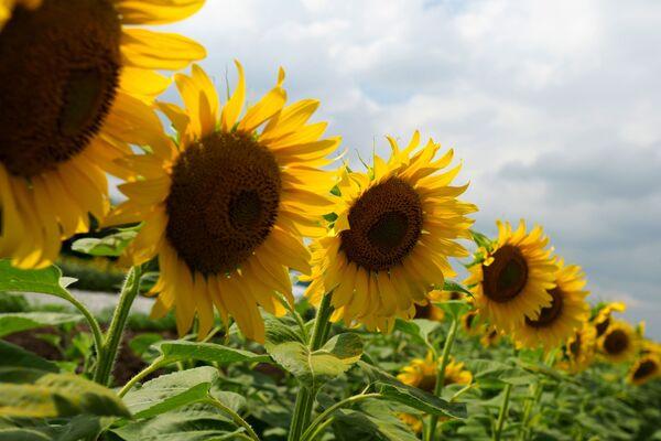 Его научное название Helianthus переводится как солнечный цветок, что объясняется выраженным гелиотропизмом — поворот раскрытых и обращенных к солнцу соцветий вслед за его перемещением по небосклону. - Sputnik Беларусь