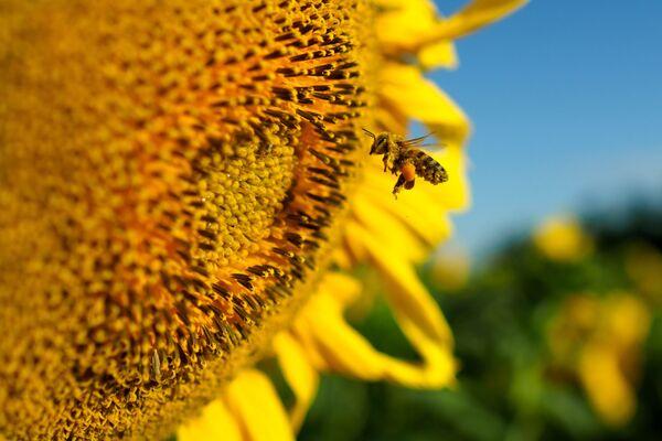 Подсолнечник — лучший медонос. Урожай семян подсолнечника в результате пчелоопыления повышается до 40%. - Sputnik Беларусь