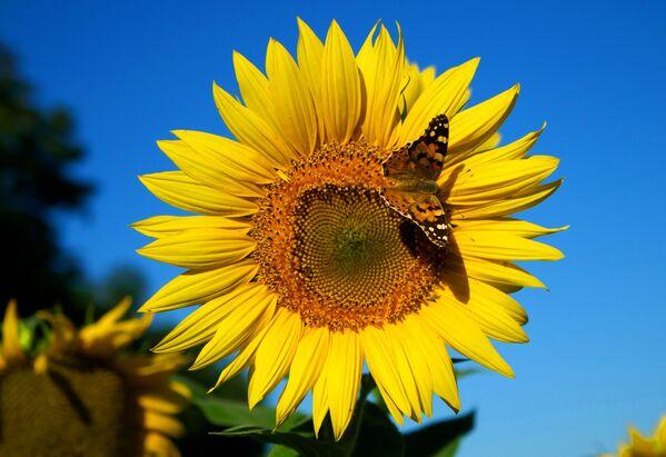 Подсолнух – цветок с потрясающим энергетическим потенциалом, в нем как будто сосредоточена сила солнца. - Sputnik Беларусь