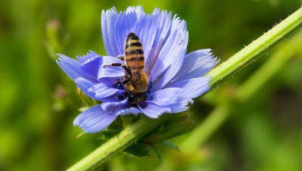 Пчела и цветок цикория - Sputnik Беларусь