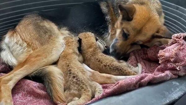 Немецкая овчарка спасла двух белых львят, видео - Sputnik Беларусь