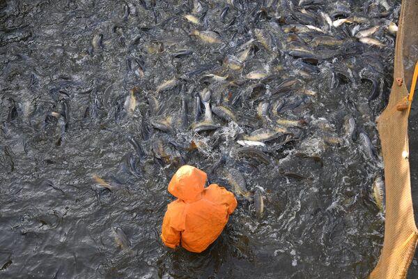 Это единственный рыбхоз в Беларуси, который занимается выращиванием белуги. - Sputnik Беларусь
