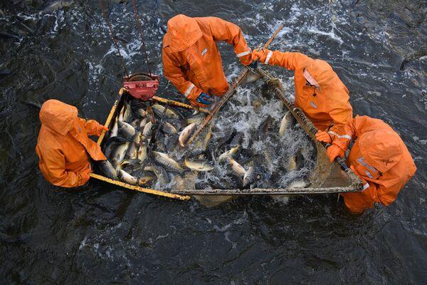 На каждом пруду есть свой собственный рыбоуловитель, где за один раз можно выловить около 30 тонн рыбы. - Sputnik Беларусь