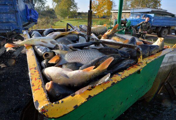 Живую рыбу грузят в машины при помощи специального электрического подъемного крана. - Sputnik Беларусь