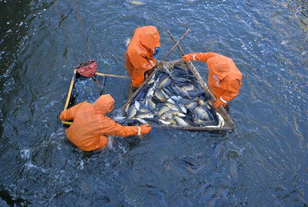 Здесь выращивают прудовую рыбу, такую как карп, форель, толстолобик, белый амур, щука, карась. - Sputnik Беларусь