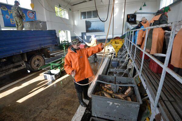 Женщины на специальном столе сортируют рыбу по видам и классу. Затем приезжают машины, чтобы забрать живым весом рыбу, которая нужна торговым сетям. - Sputnik Беларусь