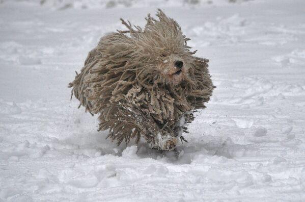 Собака породы комондор радуется снегу в белорусском парке. - Sputnik Беларусь