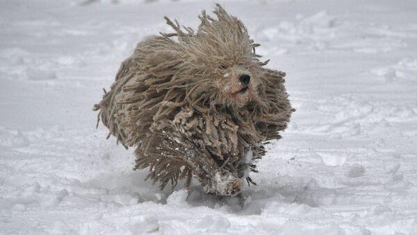 Сабака пароды камандор цешыцца снегу - Sputnik Беларусь