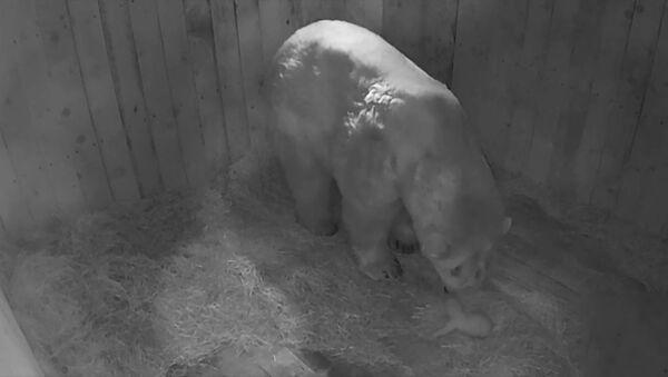 Белае медзведзяня нарадзілася ў заапарку - яно важыць усяго паўкіло! - Sputnik Беларусь