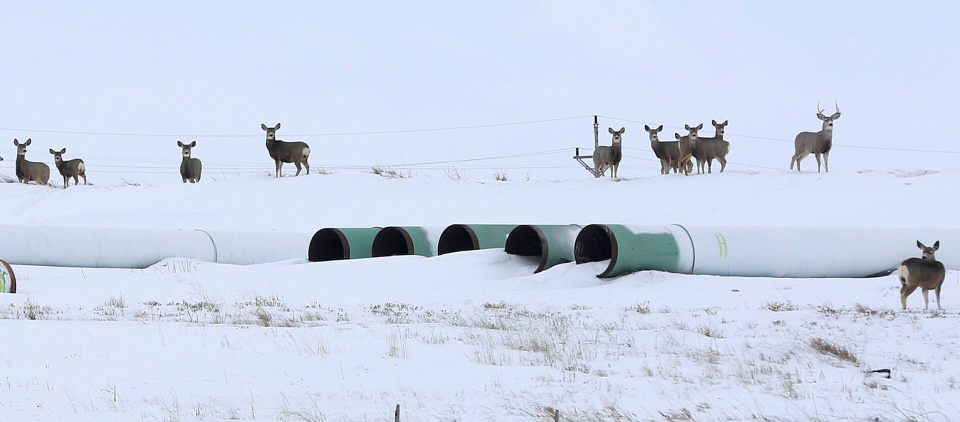 Олени собираются на складе, где хранятся трубы для планируемого нефтепровода Keystone XL в Гаскойне, Северная Дакота - Sputnik Беларусь, 1920, 26.01.2021