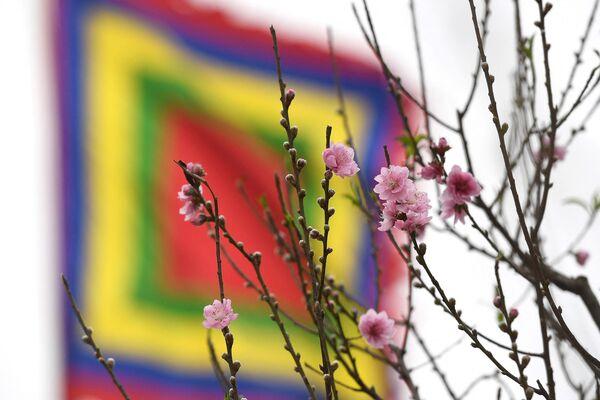 Кветкі персіка на фестывалі, прысвечаным Месячнаму Новаму году ў Ханоі - Sputnik Беларусь