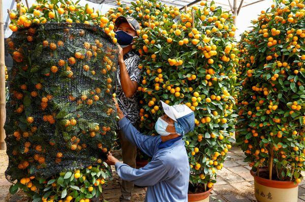 Прадаўцы ў ахоўных масках рыхтуюць кумкват, ці японскі апельсін, да продажу - Sputnik Беларусь
