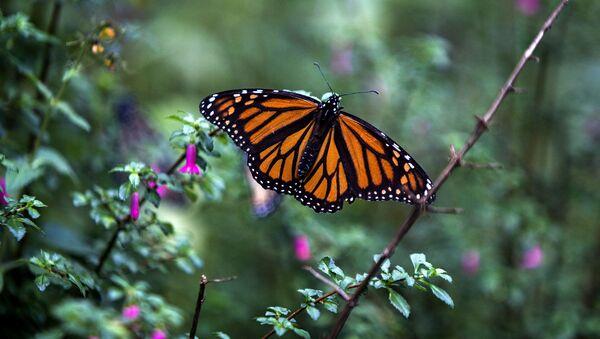 Бабочка-монарх - Sputnik Беларусь