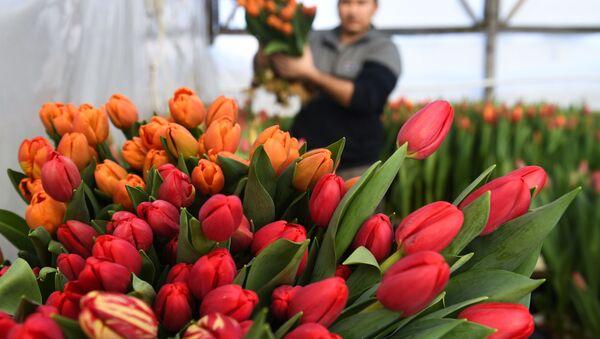 Выращивание тюльпанов к 8 Марта, архивное фото - Sputnik Беларусь