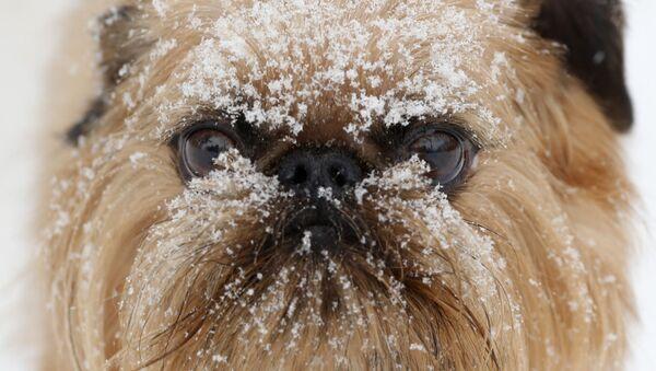 Снег на мордзе сабакі ў цэнтры догляду за сабакамі Hounds on the Hudson ў Олбані, штат Нью-Йорк, ЗША - Sputnik Беларусь