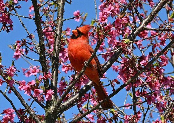 Птушка чырвоны кардынал сядзіць на галінцы квітнеючага дрэва ў Нацыянальным дэндрарыі ў Вашынгтоне - Sputnik Беларусь