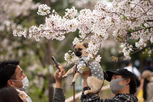 Мужчына фатаграфуе сабаку перад квітнеючай сакурай ў парку Інакасіра ў Токіа - Sputnik Беларусь