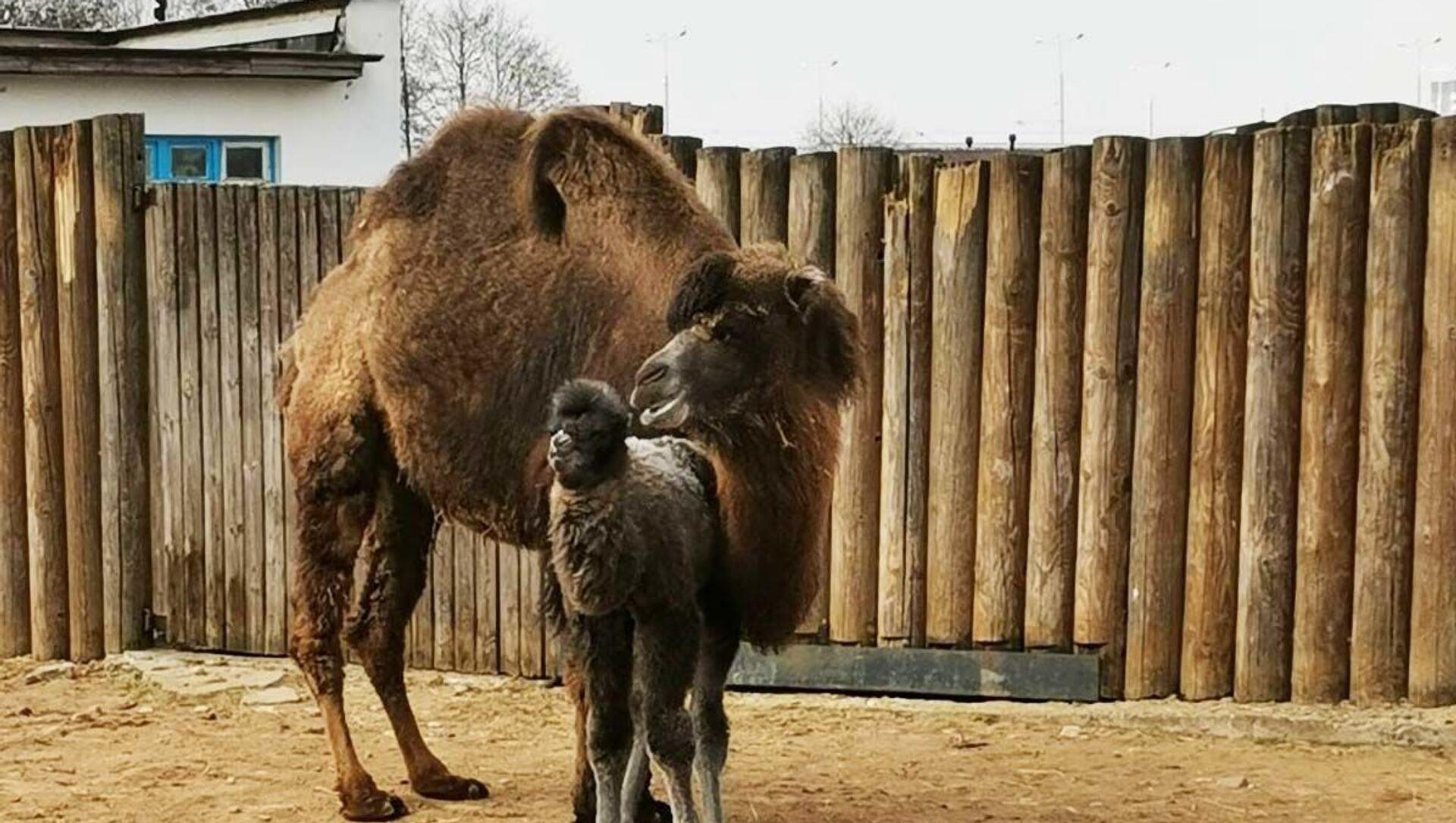 В зоопарке впервые родился верблюжонок у самки Яшмы и самца Васи - Sputnik Беларусь, 1920, 05.04.2021