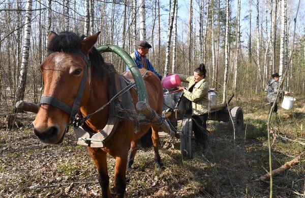 Сбор березового сока - Sputnik Беларусь