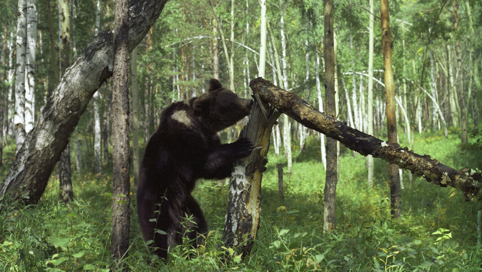 Бурый медведь в лесу - Sputnik Беларусь, 1920, 22.05.2021