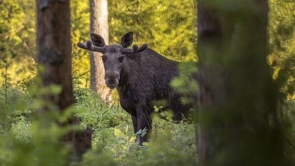 Лось в лесу, архивное фото - Sputnik Беларусь