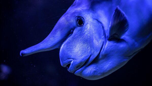 Носач, или рыба-носорог плывет в Тропическом аквариуме в Париже - Sputnik Беларусь