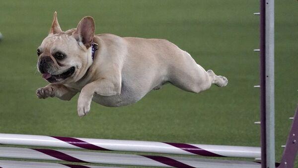 Французский бульдог во время соревнований на Westminster Kennel Club Dog Show - Sputnik Беларусь