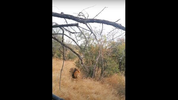 Самцы леапарда ўдалося выратавацца ад палявання на яе льва - відэа - Sputnik Беларусь