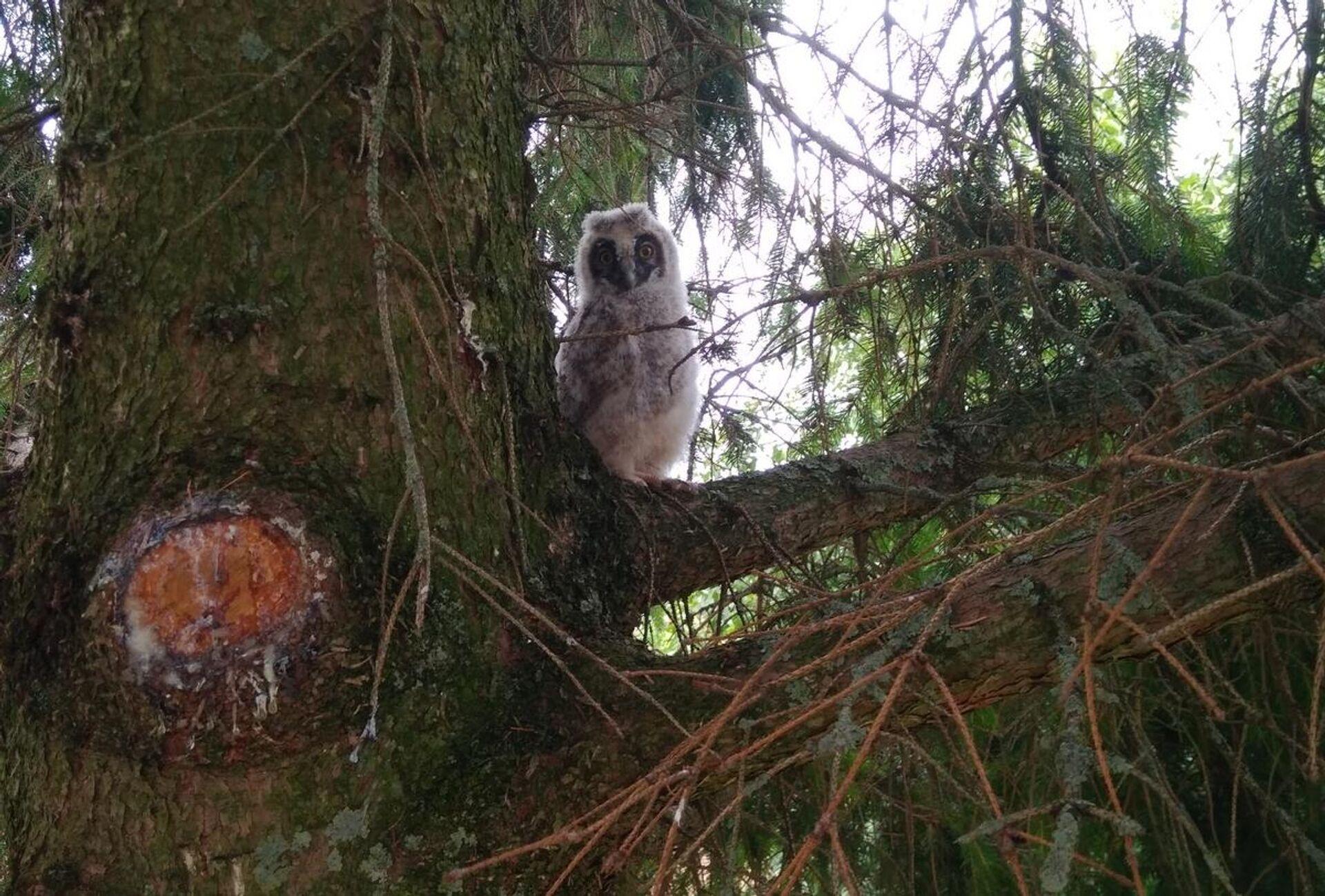 Гнездо сов находилось на высокой елке - Sputnik Беларусь, 1920, 29.07.2021