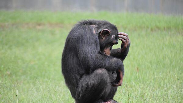 Шимпанзе, архивное фото - Sputnik Беларусь