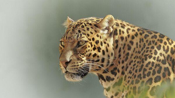 Леопард, архивное фото - Sputnik Беларусь