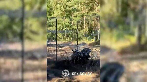 Лось запутался в ограждении на белорусско-литовской границе - Sputnik Беларусь