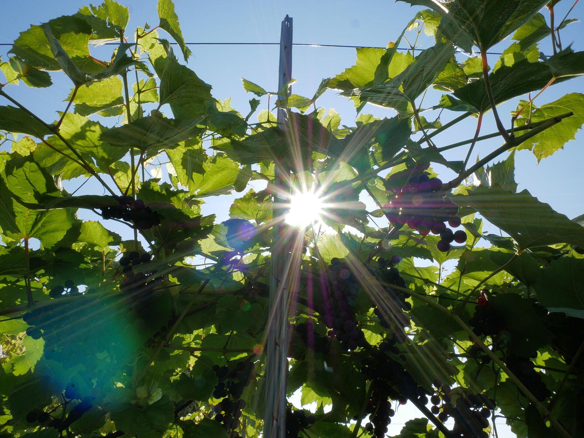Выращивание винограда в Беларуси - Sputnik Беларусь, 1920, 16.09.2021