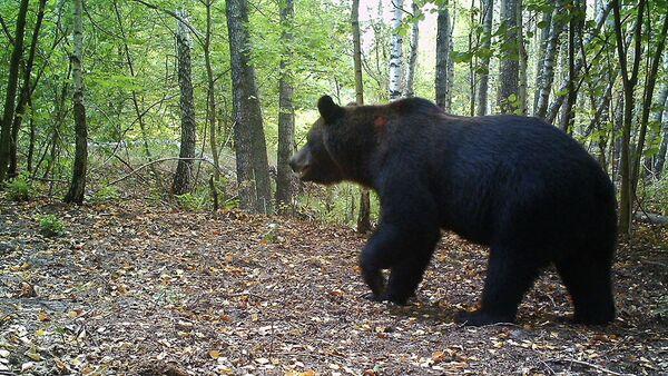 Бурый медведь в зоне отчуждения Чернобыльской АЭС  - Sputnik Беларусь