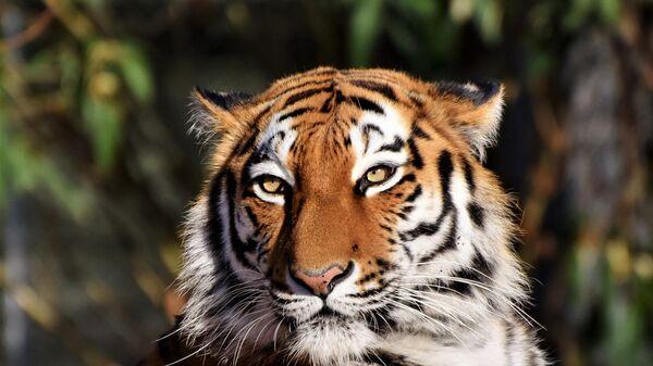 Тигр, архивное фото - Sputnik Беларусь