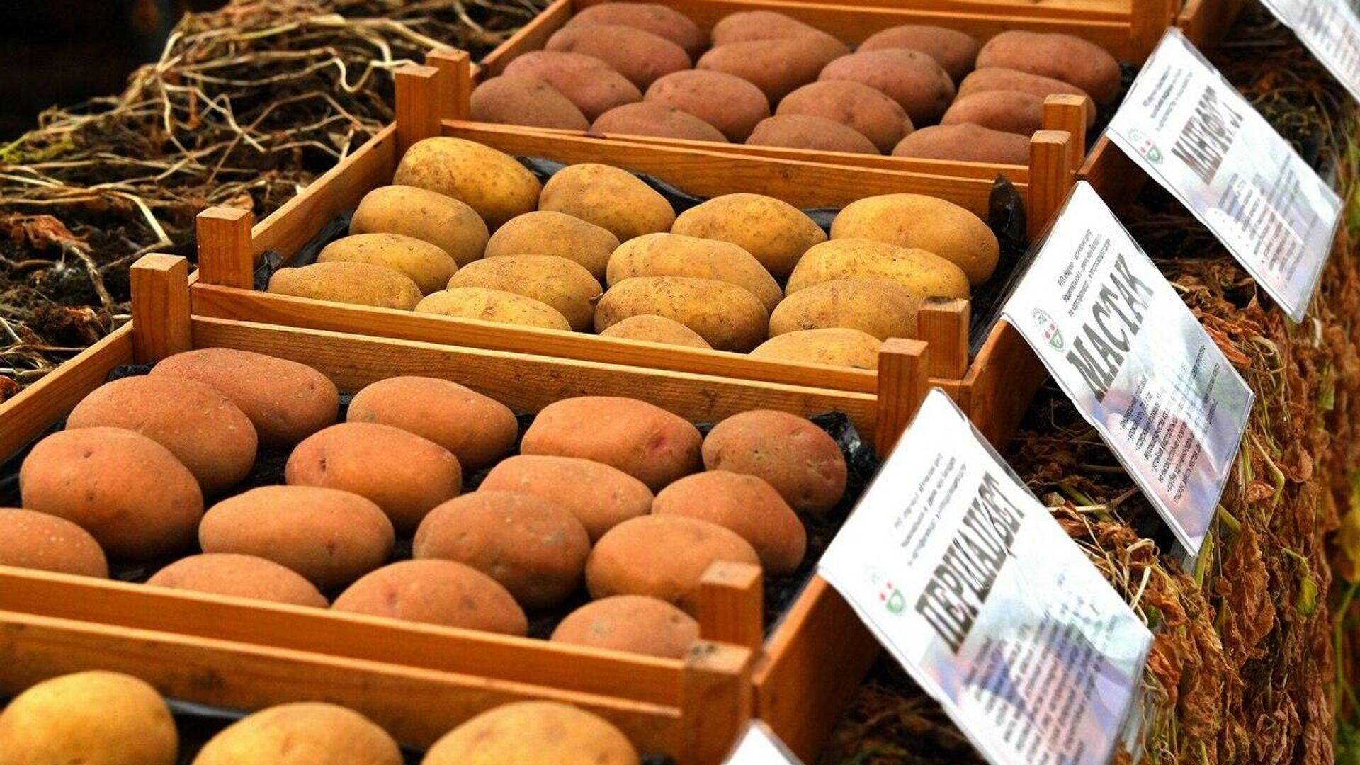 В настоящее время в семеноводстве находится 26 сортов картофеля - Sputnik Беларусь, 1920, 07.10.2021