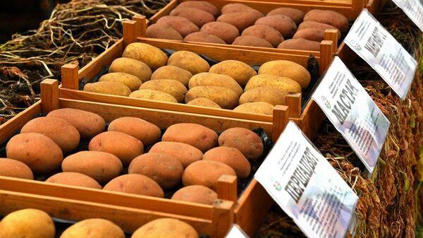 В настоящее время в семеноводстве находится 26 сортов картофеля - Sputnik Беларусь