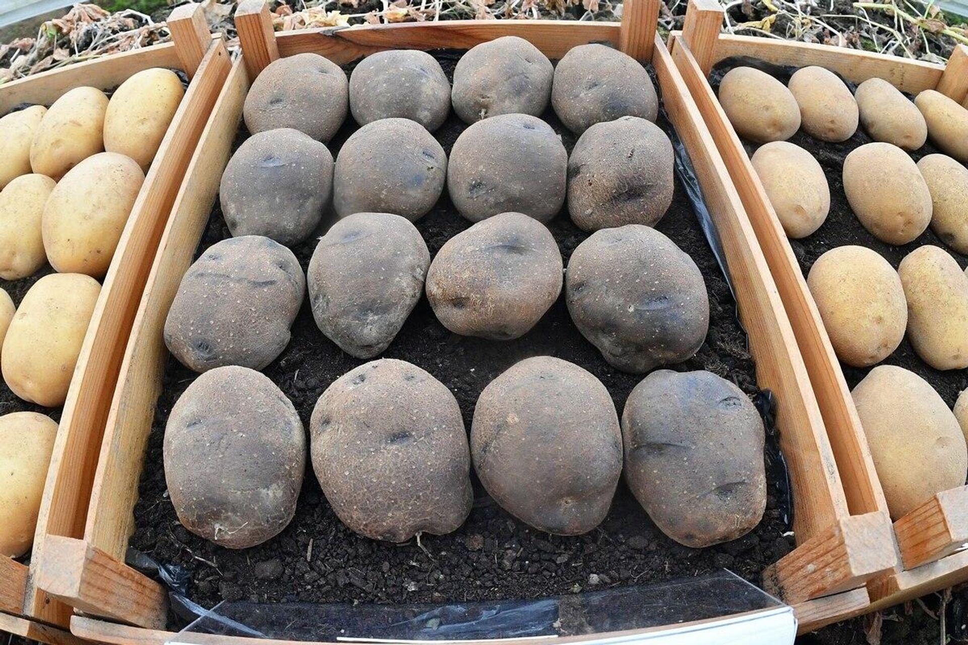 Белорусский сорт картофеля Сапфир может служить в качестве натурального пищевого красителя - Sputnik Беларусь, 1920, 07.10.2021