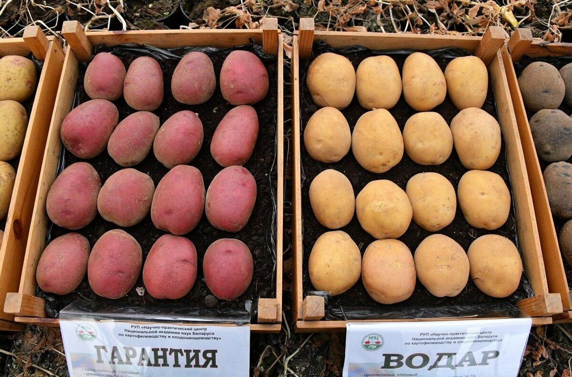 Чтобы получить новый сорт картошки, ученым необходимо 10-12 лет - Sputnik Беларусь, 1920, 07.10.2021