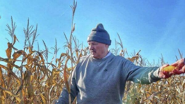 Лукашэнка на кукурузным полі - Sputnik Беларусь