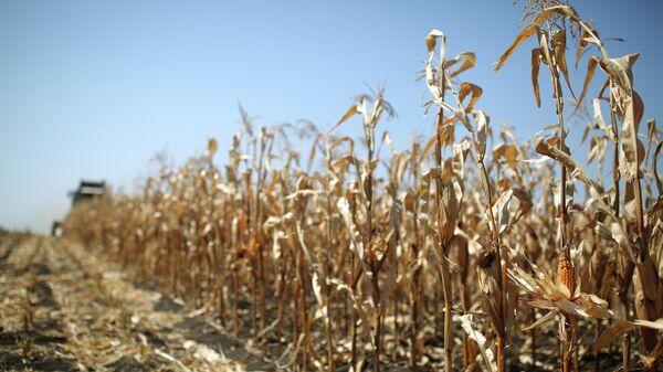 Уборка кукурузы, архивное фото - Sputnik Беларусь