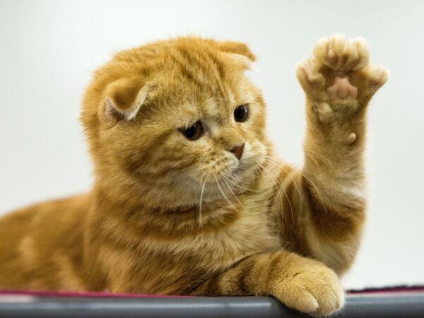 Кошка породы Скоттиш страйт - Sputnik Беларусь