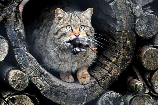 Лесной кот (FELIS SILVESTRIS) - Sputnik Беларусь