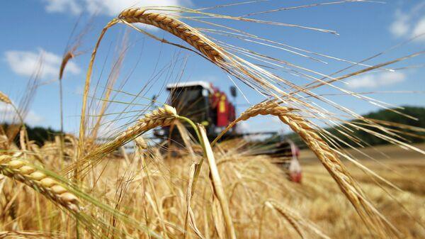 Уборка зерна около деревни Крутиловичи Дятловского района  - Sputnik Беларусь