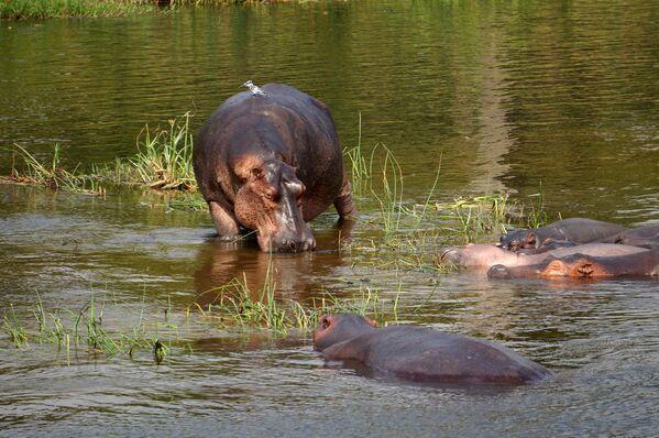Бегемоты в национальном парке Уганды - Sputnik Беларусь