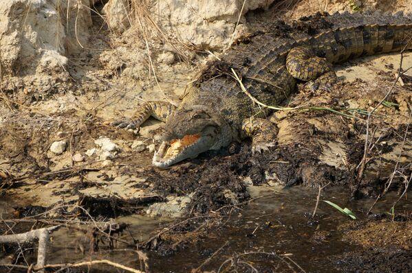 Крокодил в национальном парке Уганды - Sputnik Беларусь